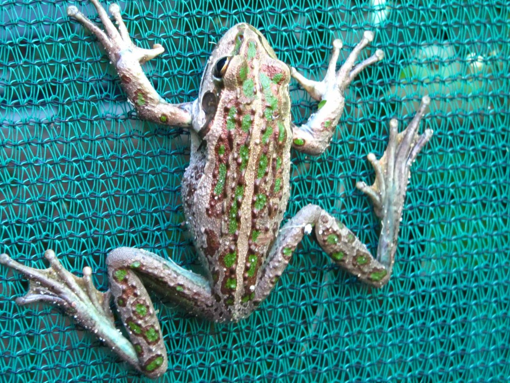 Western Green Tree Frog                                       Western  Bell Frog                                                                                 Litoria moorei                    Back Garden                 Commonly known as Motorbike Frog because of it's call.
