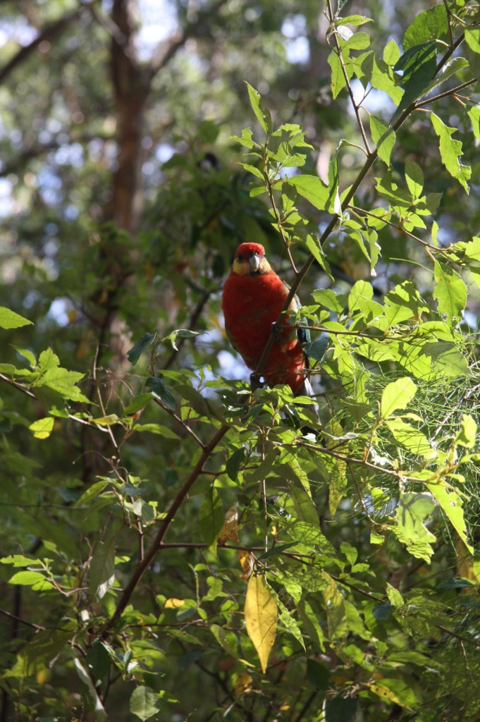 """Australian Ring-Necked Parrot                                                            Barnardious zonarious      Southern state forest  but common in Perth                  Commonly known as """"28s"""" because of call"""