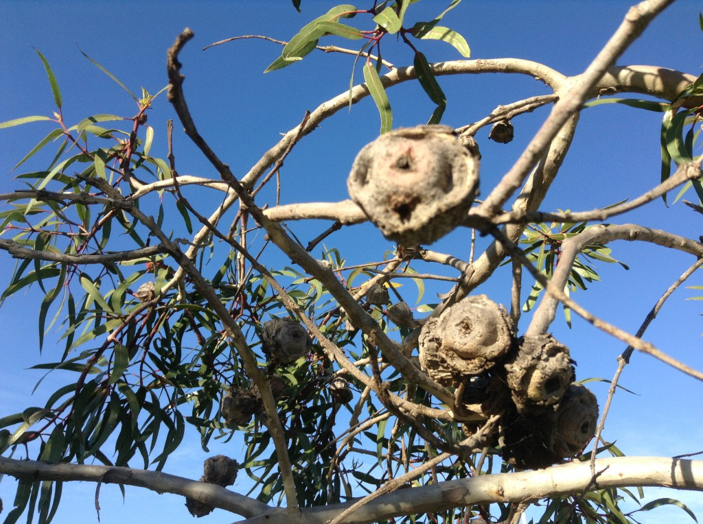 These pictures from Perth Australia have been sent in by Peter Murphy Seed pods of Red Cap GumTree.  Eucalyptus Erythrocorys