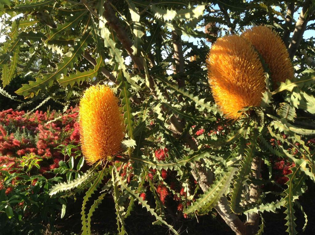 Ashby's Banksia.  Banksia Ashbyi