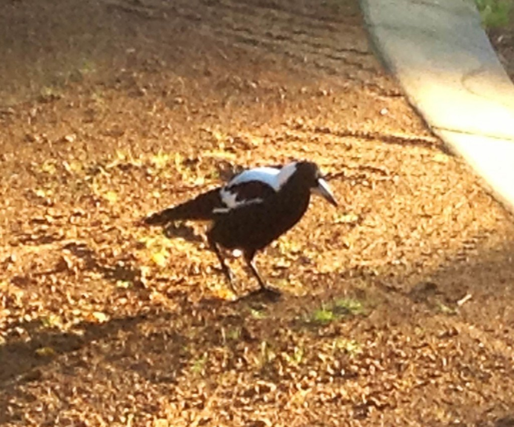 Australian Magpie.    Cracticus tibicen.    A member of the order Artimidae. Not related to the European Magpie.