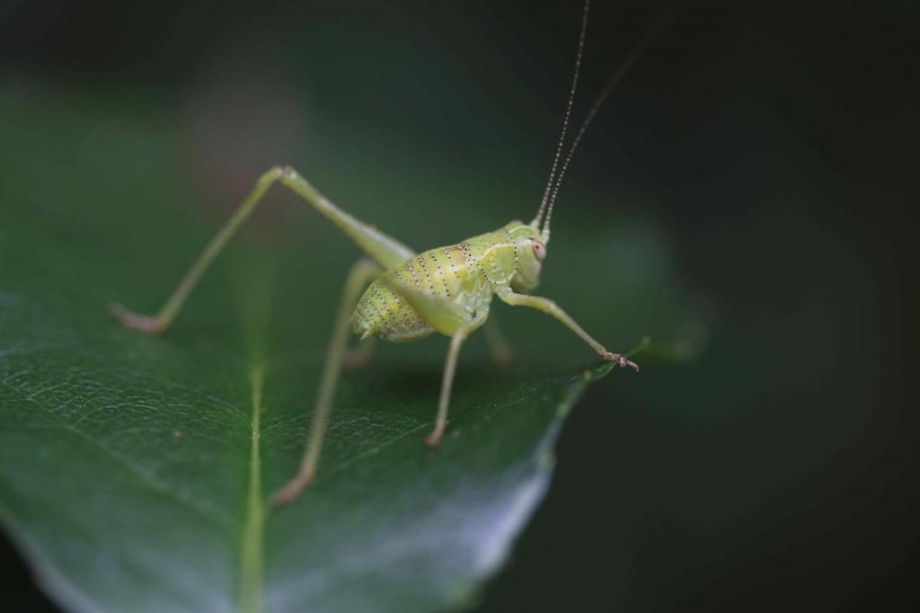 mmature Longhorn Grasshopper   -  Conocephalus seivittatus. Actually closer to crickets than grasshoppers.