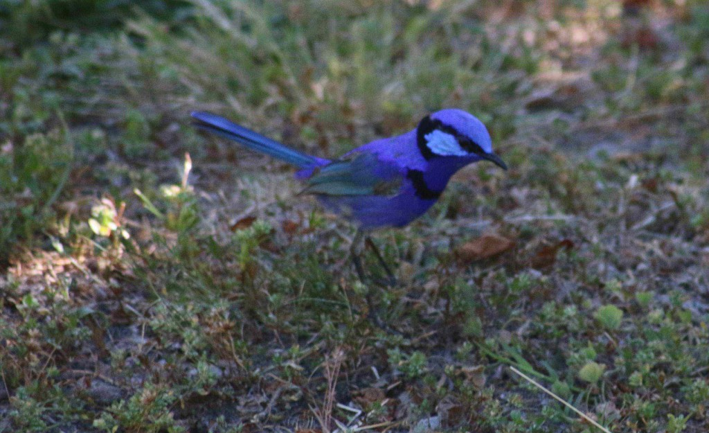 Splendid Fairy Wren. (Male in display plumage) Malurus splendens The western variety of Blue fairy wren. Not related to the true Wren. More recently has been grouped in large family Meliphagoidea.  At Banksia Springs, Dwellingup.