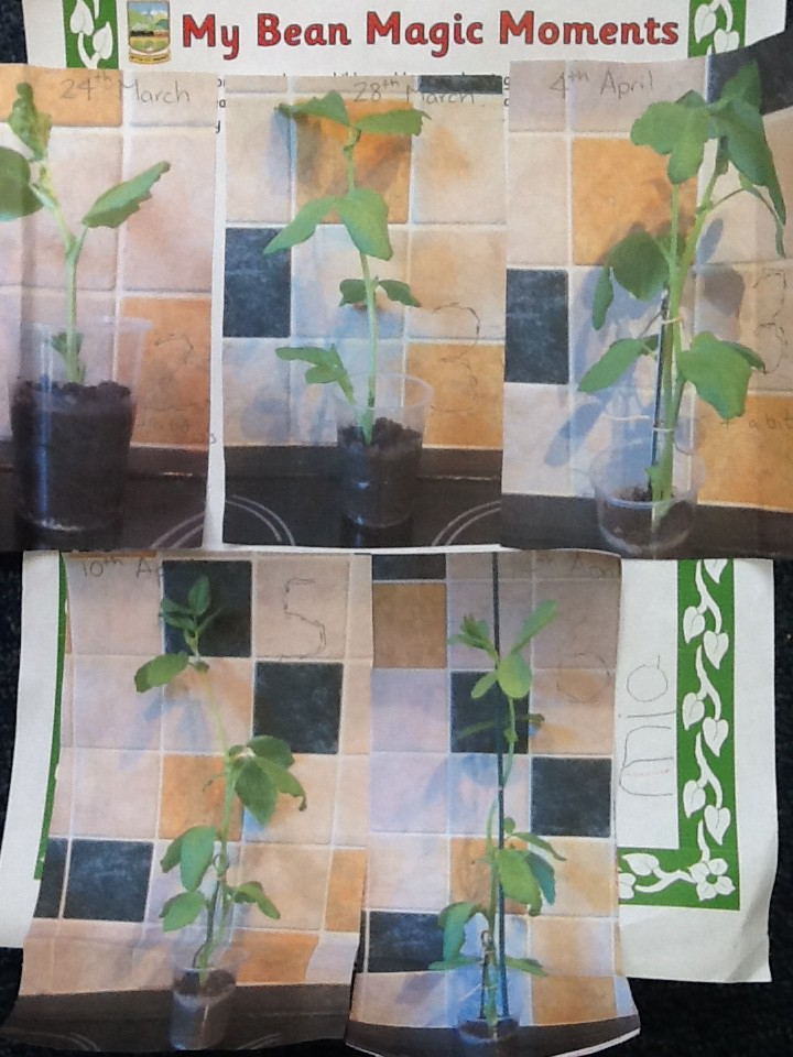 Using kitchen tiles to measure beanstalk growth