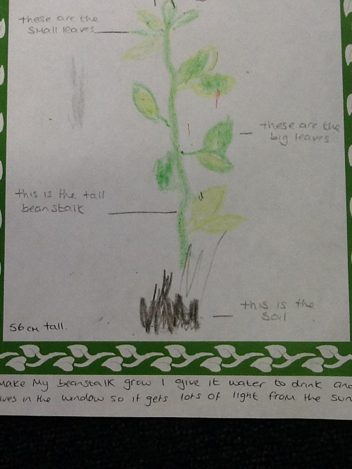 Beanstalk drawn by child, labelled by adult.