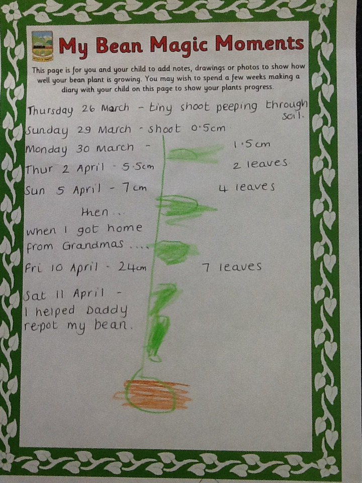Recording beanstalk growth by counting the number of leaves.