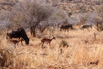 Blue Wildebeast, Impala and Zebra