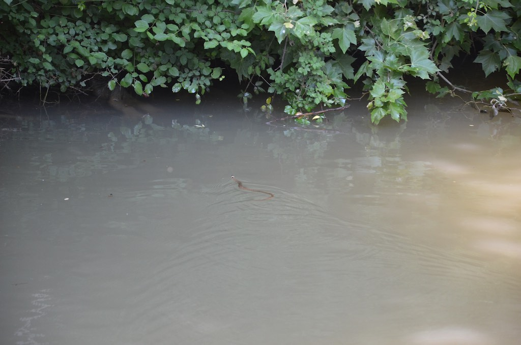 Grass Snake seen below Trébes
