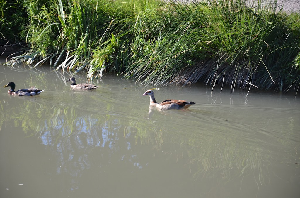 Egyptian Goose  (Alopochen aegytiacus) below 7 écluses de Fonserannes