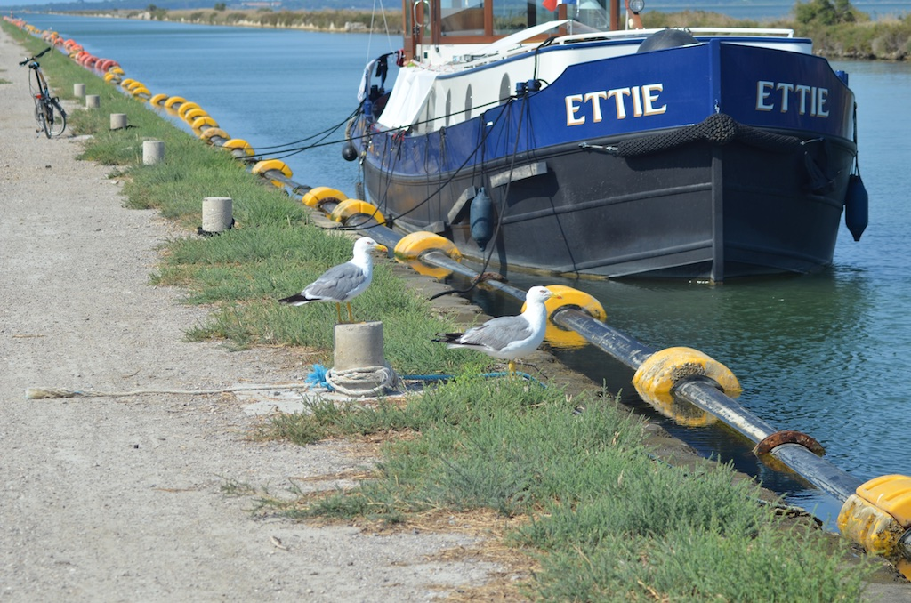 Yellow-legged Gull (Larus cachinnans) on canal du Rhône à Sète, la Maguelonne