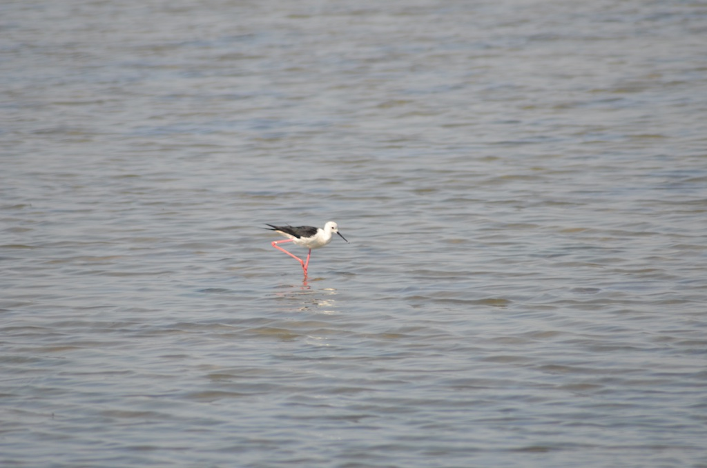 Black-winged Stilt (Himantopus himantopus) on étang de Pierre Blanche, la Maguelonne