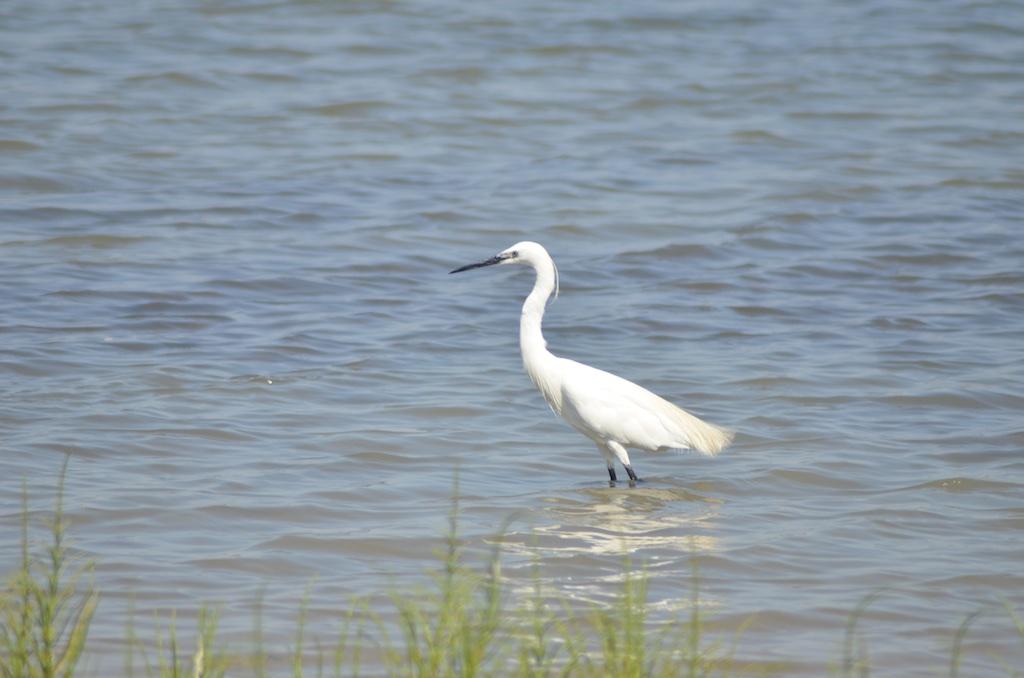 Little Egret (Egretta garzetta) on étang de Pierre Blanche, la Maguelonne