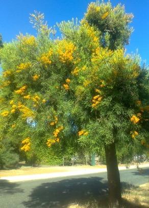 Western Australia Christmas Tree