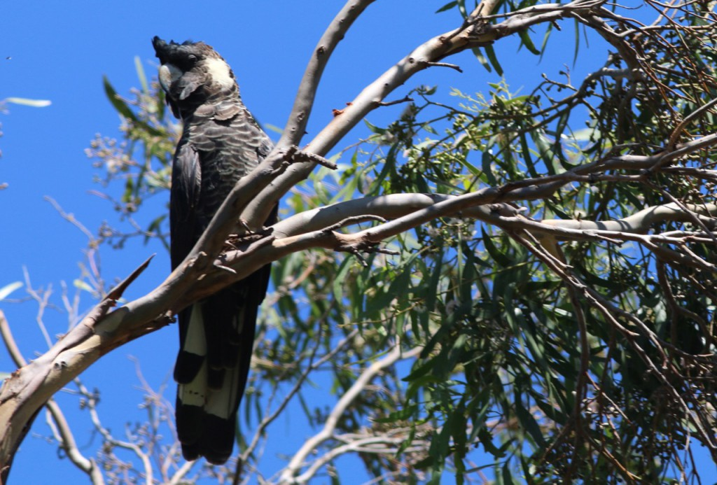 White-tailed Black - or Carnaby's Cockatoo
