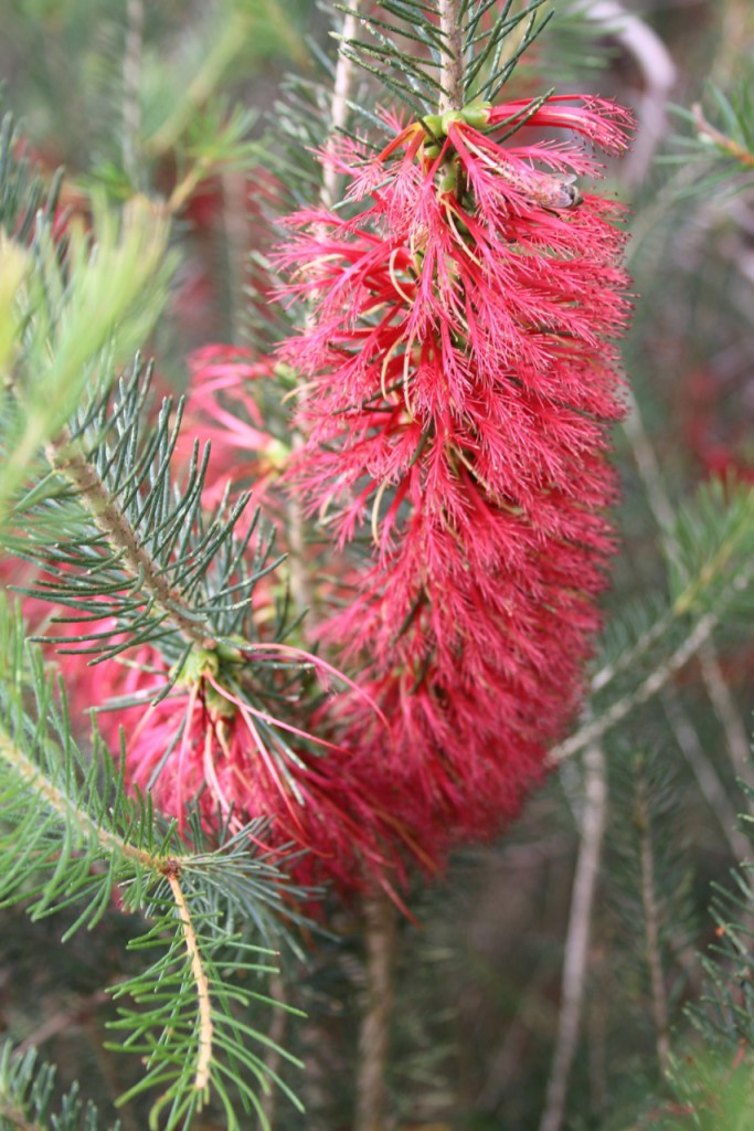 One-sided Bottlebrush