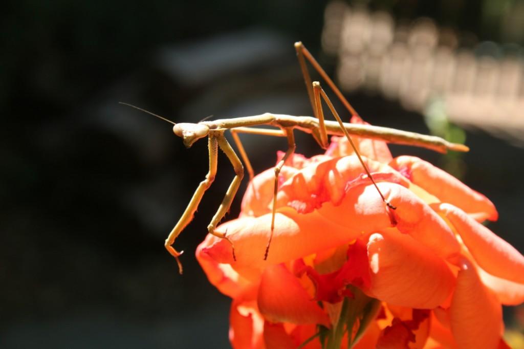 A mantis in our back garden