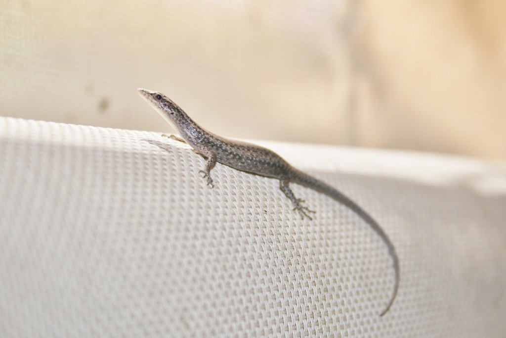 Common Skink (Lampropholis guichenoti) on our deck shades