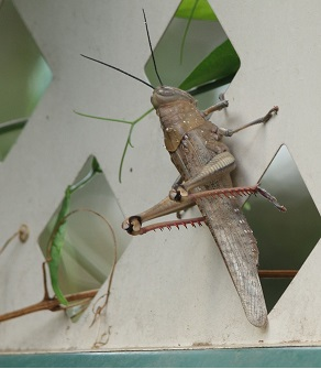 Large Grasshopper on our garden fence